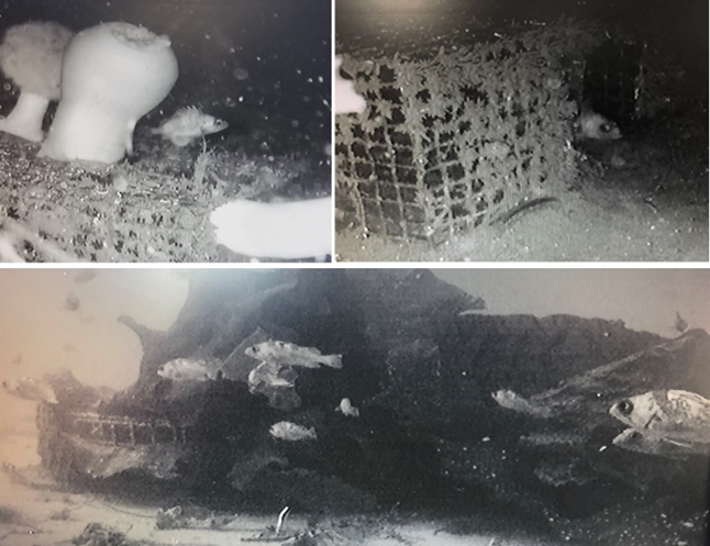 ROV footage of fish using derelict shrimp pots as habitat.