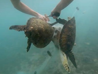 Two juvenile green sea turtles freed from an illegal gill net.
