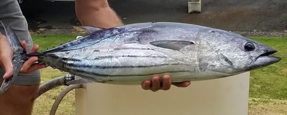 A skipjack tuna fish.