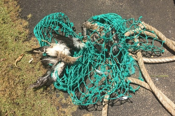Dead wedge-tailed shearwaters entangled in derelict fishing gear.