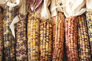 Multicolored maize