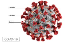 Model of the coronavirus (COVID-19)