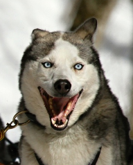 sled dog snip