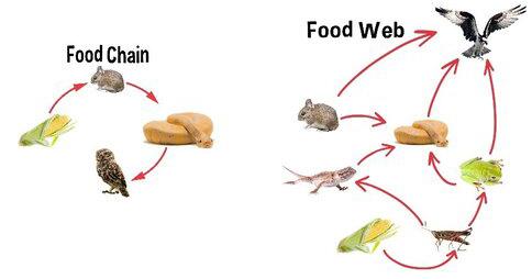 Food chain illustration