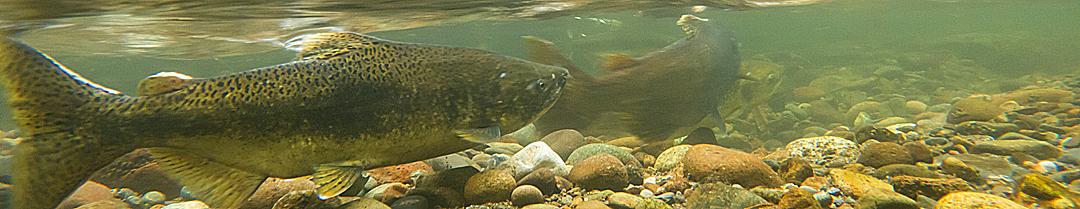 Chinook salmon in the Cedar River