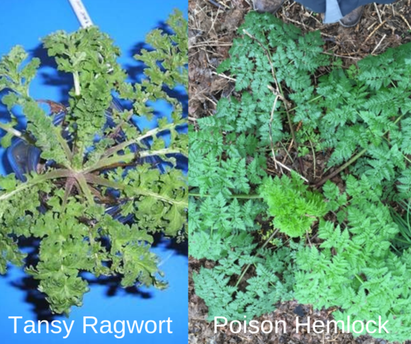 poison hemlock and tansy ragwort