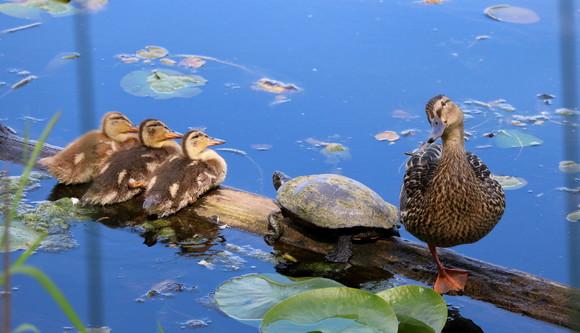 Photo of ducks and turtles on a log at Juanita Bay Park