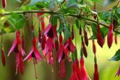 Peninsula Fuchsia Plant Sale