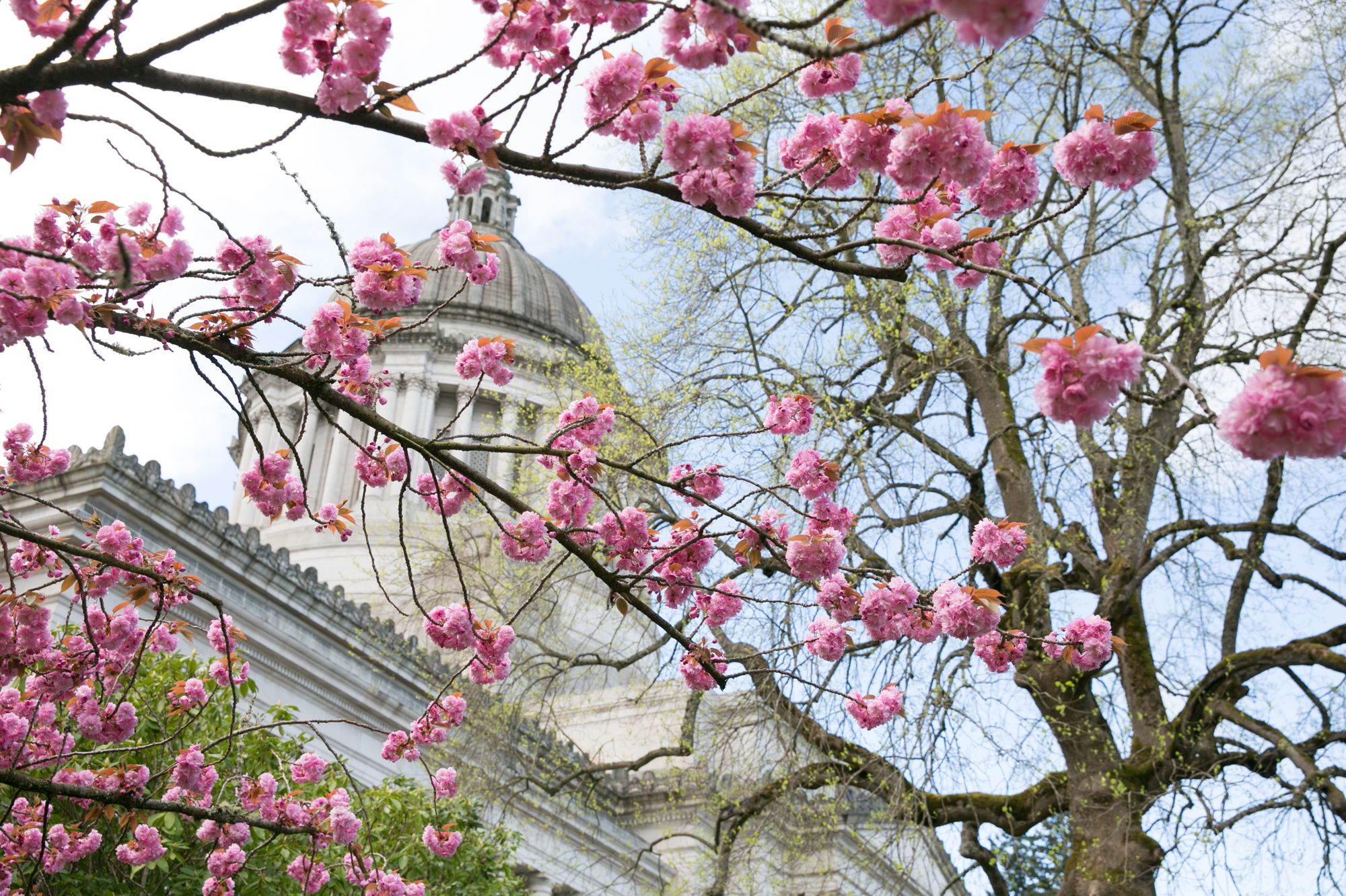 Capitol with cherry blossoms