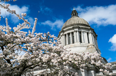 Capitol with blue sky and blossoms