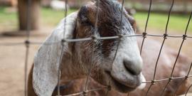 Goat from Farrel-McWhirter Farm