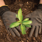 Volunteer planting a small tree