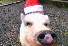 Pig in Santa Hat