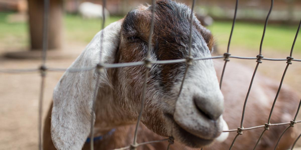 Goat at Farrel-McWhirter Park