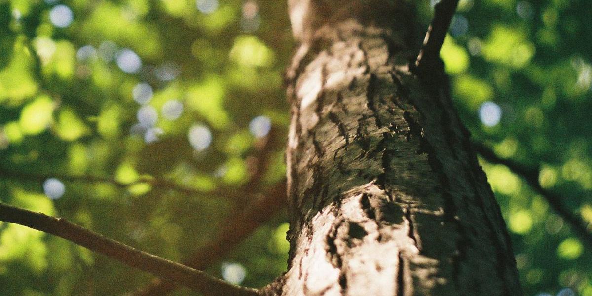 Redmon tree canopy