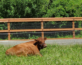 Rosie the cow laying down in some grass.