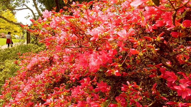 Rhodies at the Washington Park Arboretum