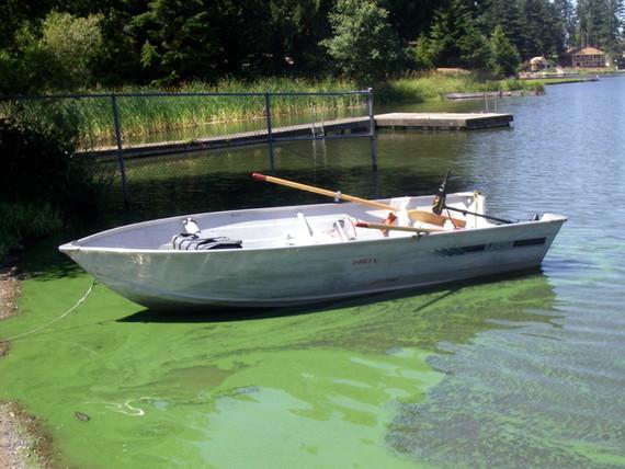 Toxic Algae in lake