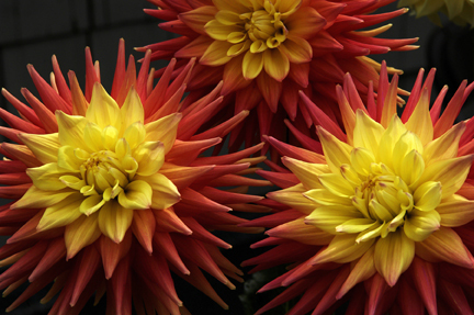 Photo of Dahlias