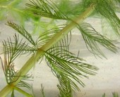Milfoil has feathery leaves
