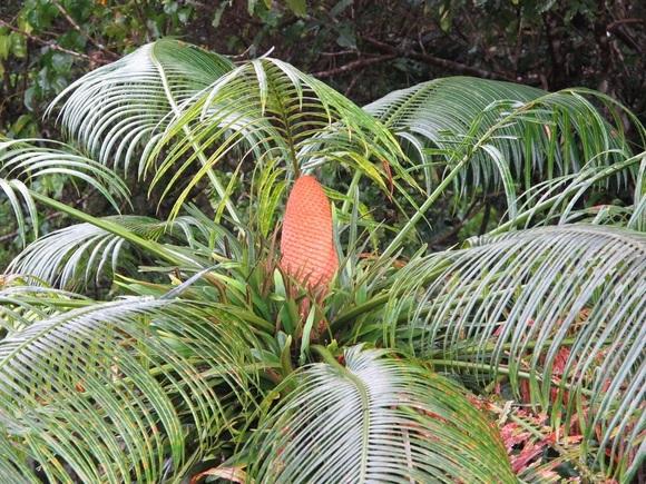 Cycas micronesica, a cycad plant native to Guam