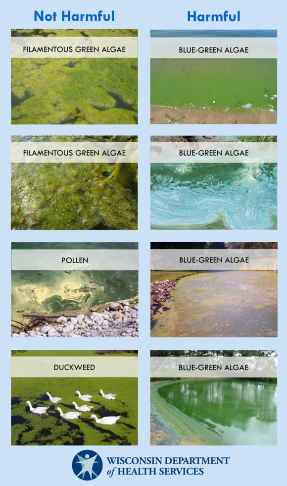 blue-green algae comparison