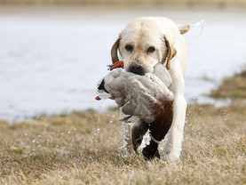 dog duck hunting