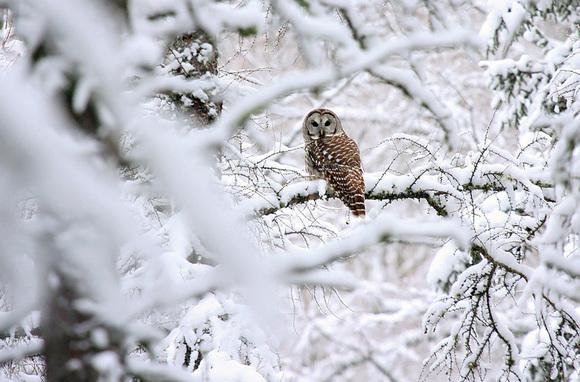 Barred Owl by Ryan Brady