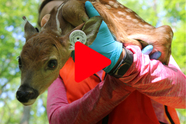 An ear-tagged whitetail fawn