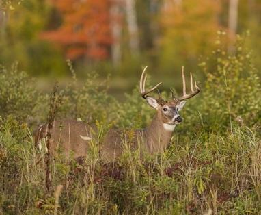 Deer in fall