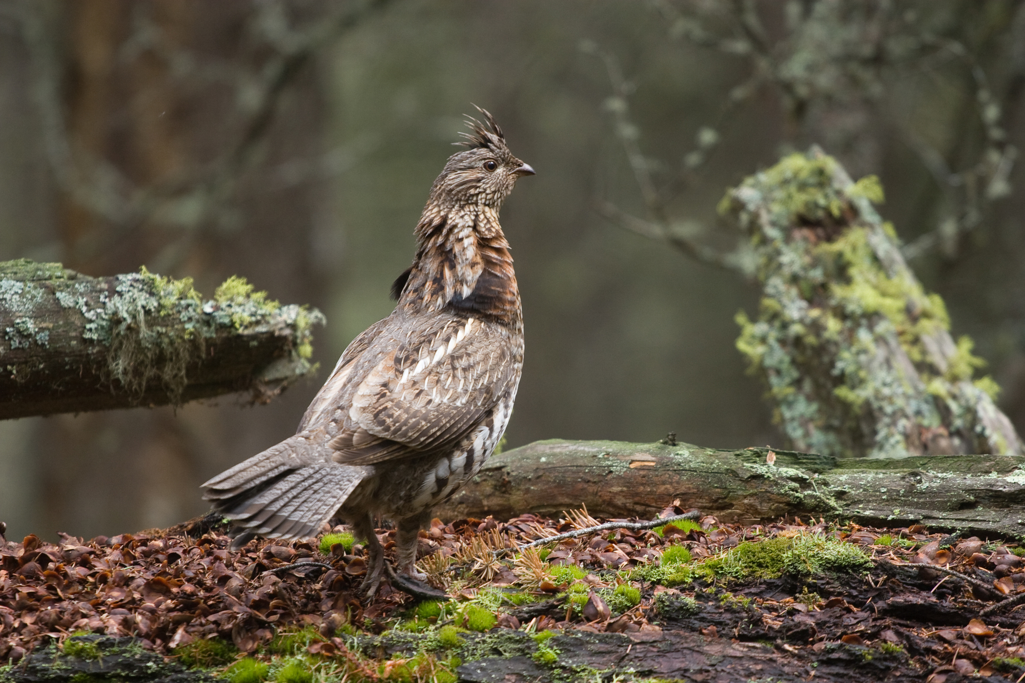 Ruffed grouse standing in woods