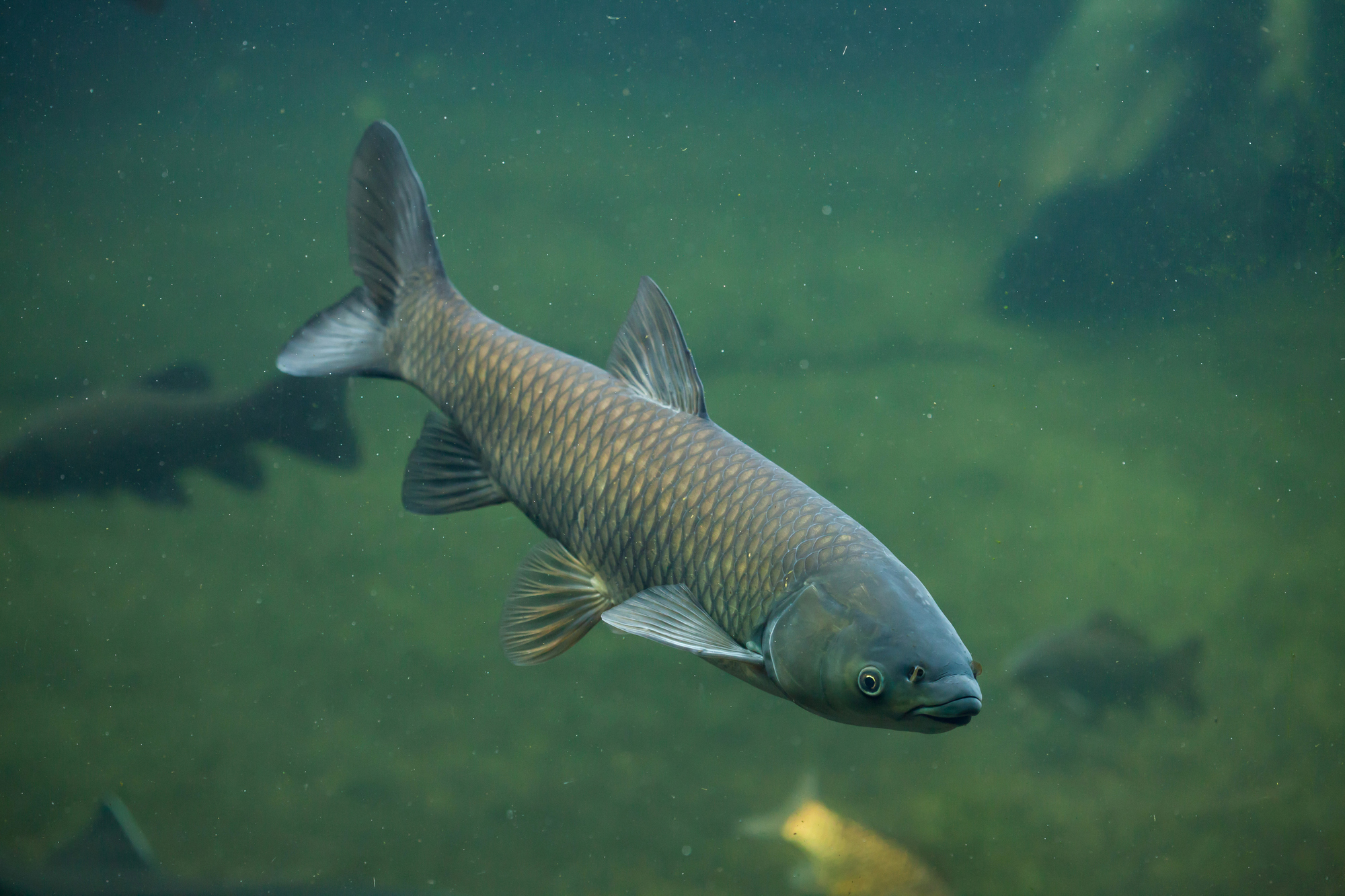 A grass carp, one of Wisconsin's most prominent and highly-destructive invasive species, swims in a river.