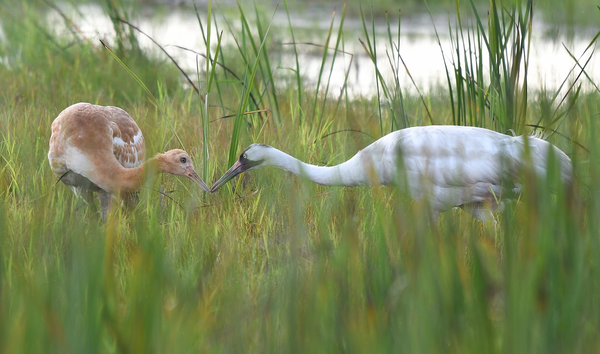 whooping crane and her chick at Horicon National Wildlife Refuge