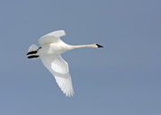 A flying trumpter swan against a clear blue sky