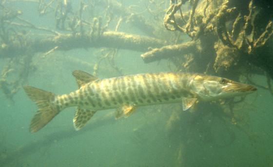 musky swimming in murky water