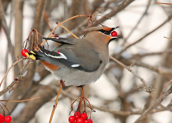 A Bohemian waxwing resting on a viburnum