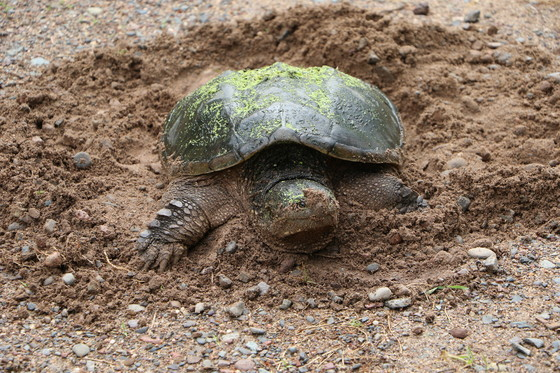 mckenszie snapping turtle laying eggs in sand