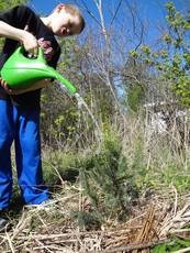 Boy watering spruce