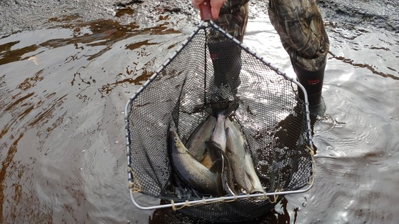 The legs of a person wearing camo and rubber wading boots in shallow water are visible as the person holds up a net containing whitefish.