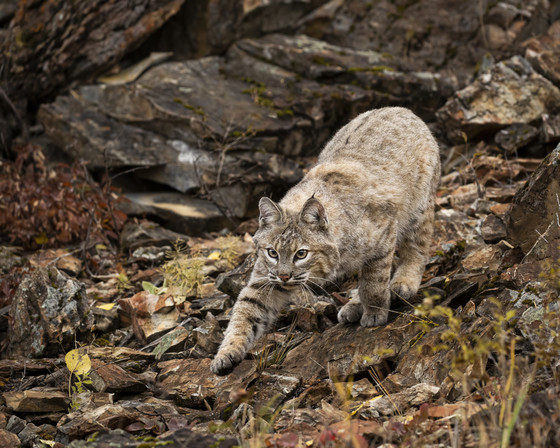 bobcat on the prowl in the woods