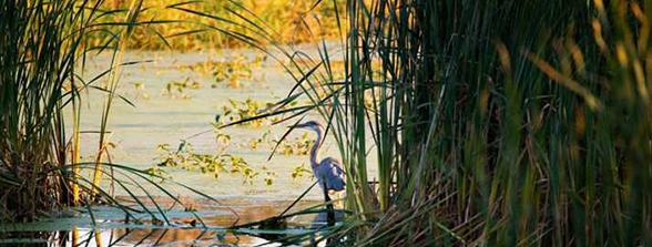 Crane in Horicon Marsh