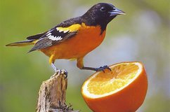 Cornell bird