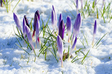 Crocuses sprouting through the snow
