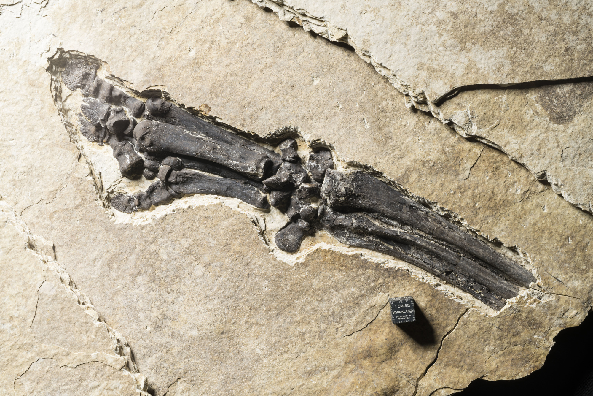 Fossil during preparation process