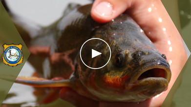 roundtail chub video